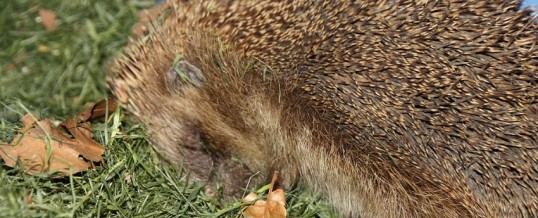 Megadosing Vitamin C: The Wonderful Healing Adventure of Herbie the Hedgegog